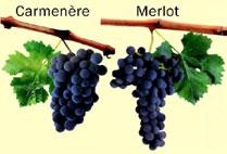 10 интересных фактов о Карменере - Wine and Food