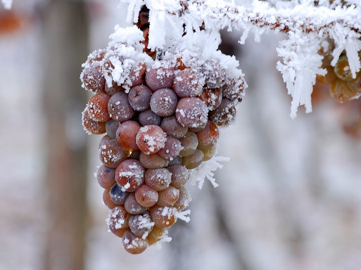 Виноград для ледяного вина